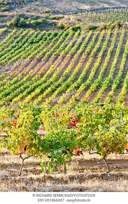 vineyars near Tautavel, Languedoc-Roussillon, France
