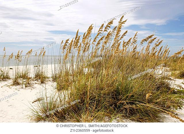 Reed grasses on Gasparilla Island State Park beach in SW Florida