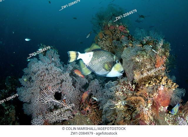 Titan Triggerfish (Balistoides viridescens) at USAT Liberty ship (US Army transport ship torpedoed by Japanese in WWII) at Tulamben in Bali in Indonesia