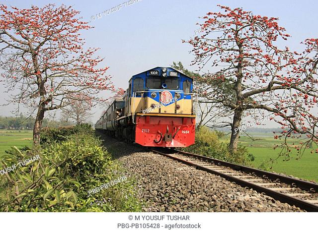 Train passes through Silk Cotton trees, locally known as shimul The flower blooms during spring in Bangladesh Narsingdi, Bangladesh February 2008