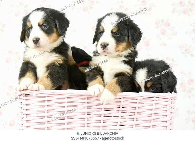 Bernese Mountain Dog. Three puppies (5 weeks old) in pink basket. Studio picture. Germany