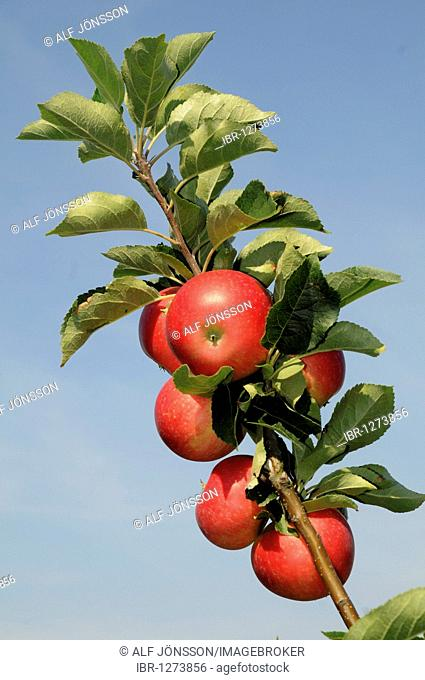Red apples on a branch, Discovery