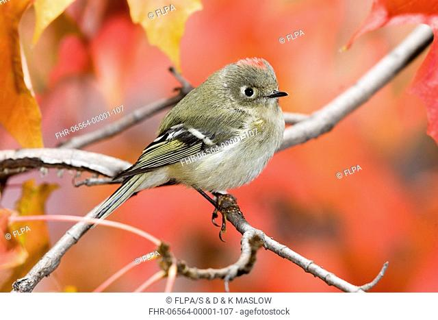 Ruby-crowned Kinglet Regulus calendula adult male, perched on maple twig, U S A , autumn