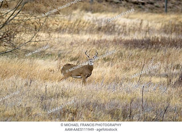 White-tailed Deer (Odocoileus virginianus) alert buck during fall Custer State Park , South Dakota