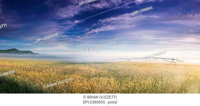 Sunrise on a summer morning colors a wheat field; Presque Isle, Maine, United States of America