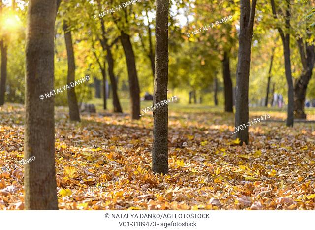autumn city park with trees and yellow leaves in the evening in the rays of the sun, Ukraine