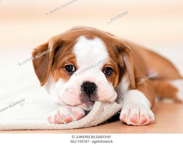 Continental Bulldog - puppy lying - portrait restrictions: magazines till 09/09