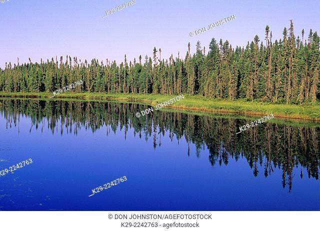 Black spruce and grasses lining calm Northern Ontario river, Upsala, Ontario, Canada