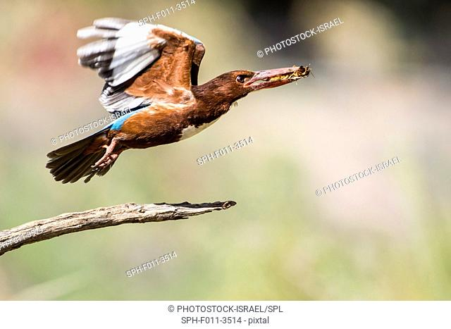 White-throated Kingfisher (Halcyon smyrnensis) with an insect in its beak, Photographed in Israel