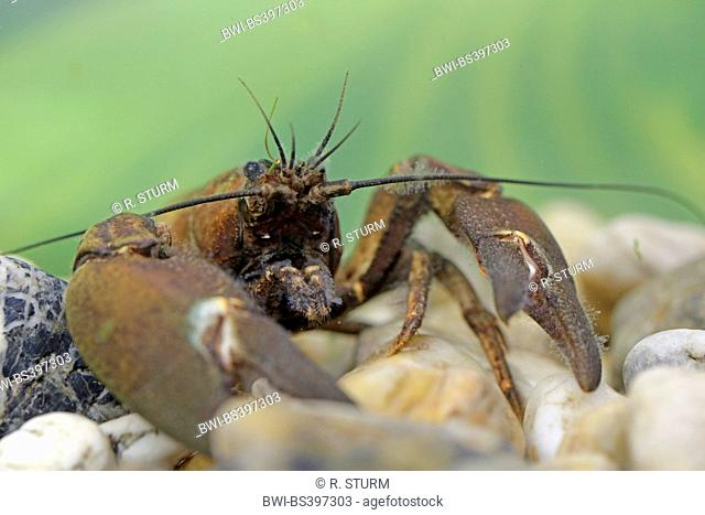 signal crayfish (Pacifastacus leniusculus), portrait of the male, Germany, Bavaria