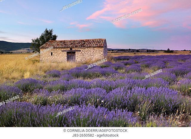 Stone house in Lavendelfeld, Lavender (Lavendula augustifolia), Sault, Plateau de Vaucluse, Alpes-de-Haute-Provence, Provence-Alpes-Cote d'Azur, Provence