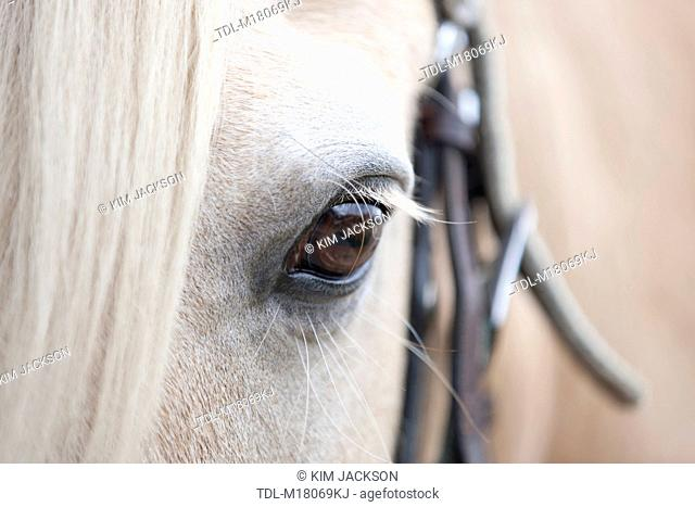 A palomino horses eye, close-up