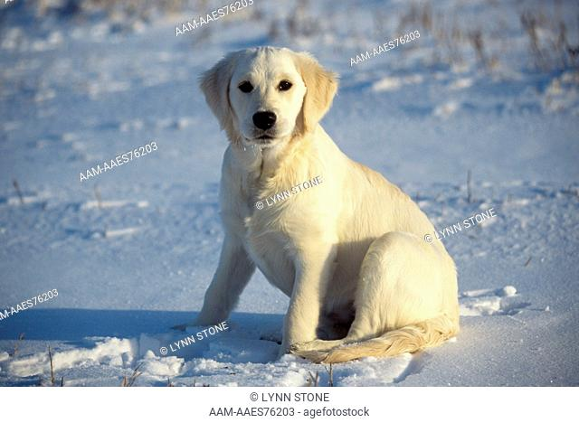Golden Retriever Puppy (English) 6 mos. old in snow