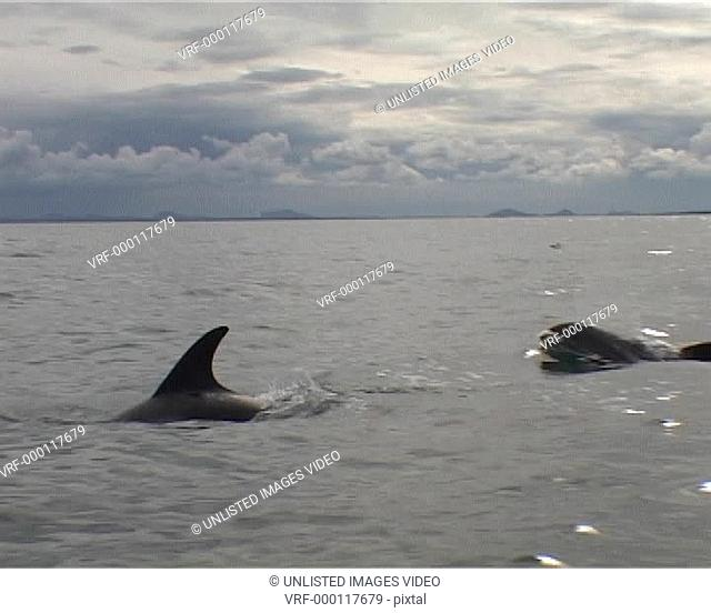 Low angle of white-beaked dolphins surfacing