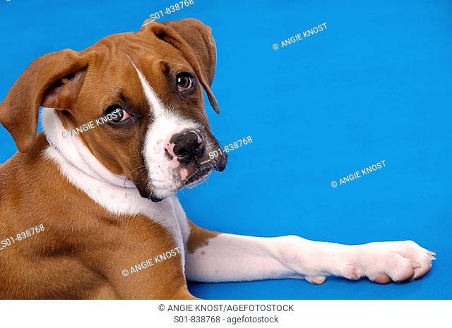 Portrait of a Boxer puppy