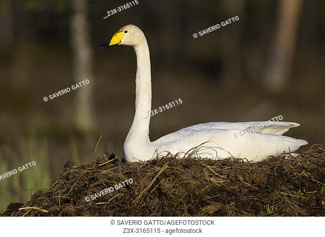 Whooper Swan (Cygnus cygnus), adult sitting on the nest, Ivalo, Lappland, Finland