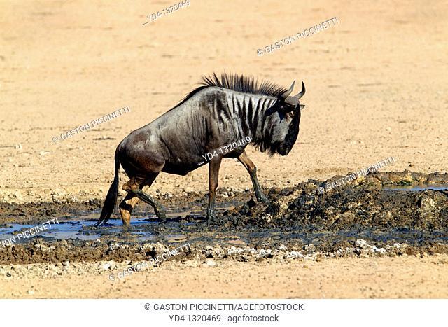 Blue wildebeest Connochaetes taurinus, in the waterhole, Kgalagadi Transfrontier Park, Kalahari deserrt, South Africa