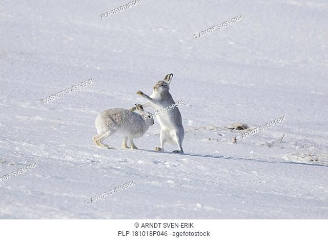 Fighting mountain hare / Alpine hares / snow hare (Lepus timidus) female in white winter pelage fending off male in the snow