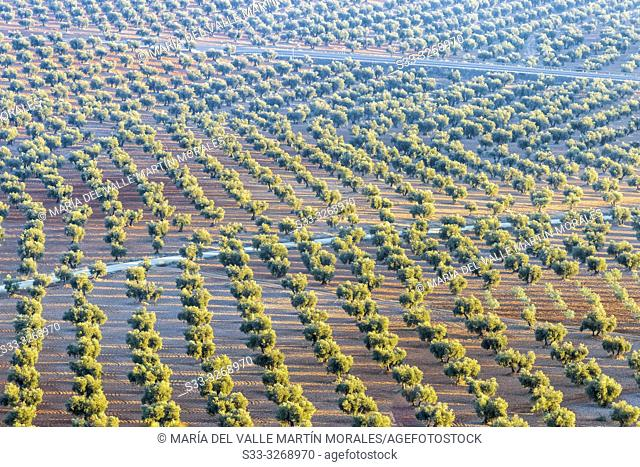 Olive trees in the country of Mora. Toledo. Spain. Europe