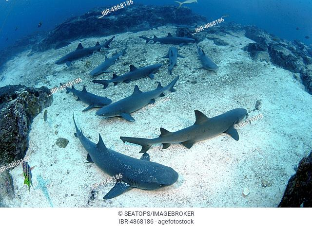 Several Whitetip reef sharks (Triaenodon obesus) rest on the seabed, Coconut Island, Costa Rica