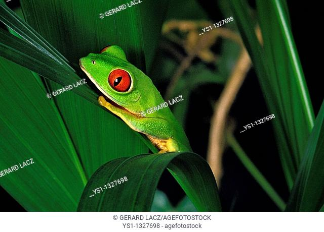 RED-EYED TREE FROG agalychnis callidryas, ADULT STANDING ON LEAF
