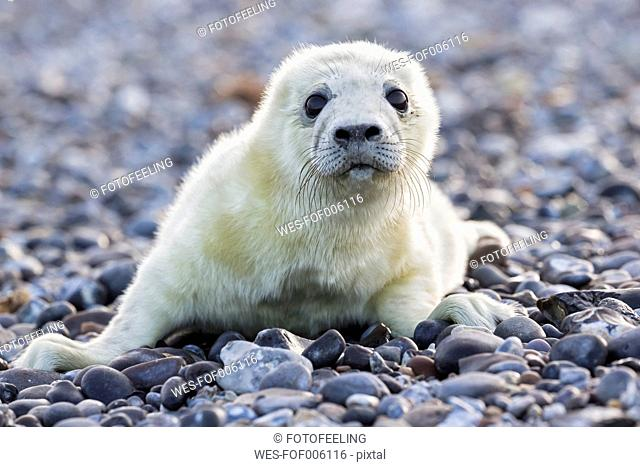 Germany, Helgoland, Duene Island, Grey seal pup (Halichoerus grypus) lying at shingle beach