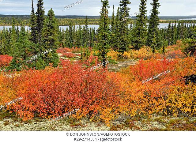 Autumn foliage (dwarf birch) in a spruce woodland, Arctic Haven Lodge, Ennadai Lake, Nunavut, Canada