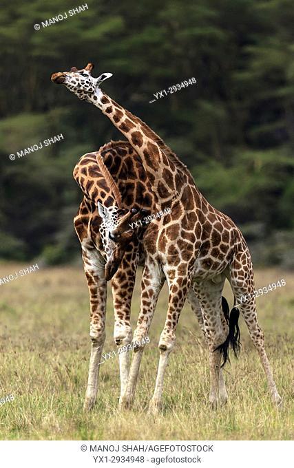 rothschilds giraffes necking. Lake Nakuru National Park,Kenya