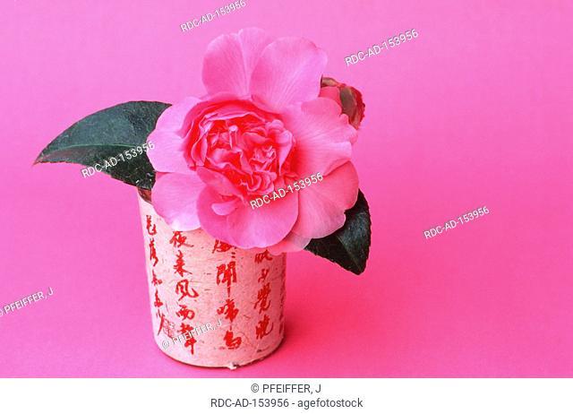 Camellia  'Debbie' in vase Camellia japonica
