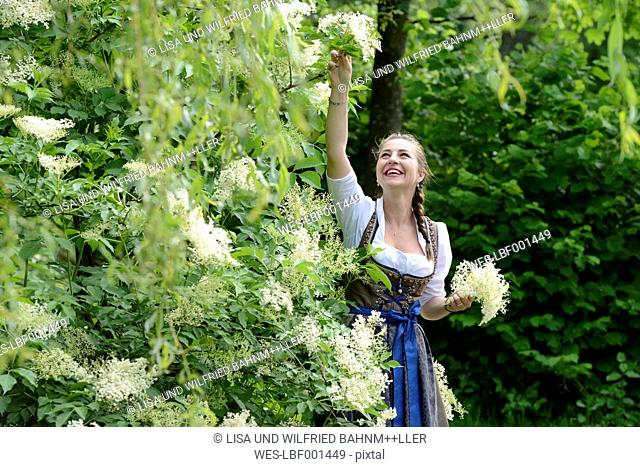 Germany, Bavaria, smiling woman wearing dirndl picking elderflowers