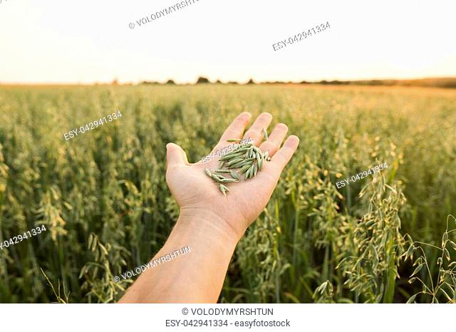 Close-up of man hand with a seeds of young green oat ears on a field in sunset. Close up on a beautiful field. Ripening ears of oats. Agriculture