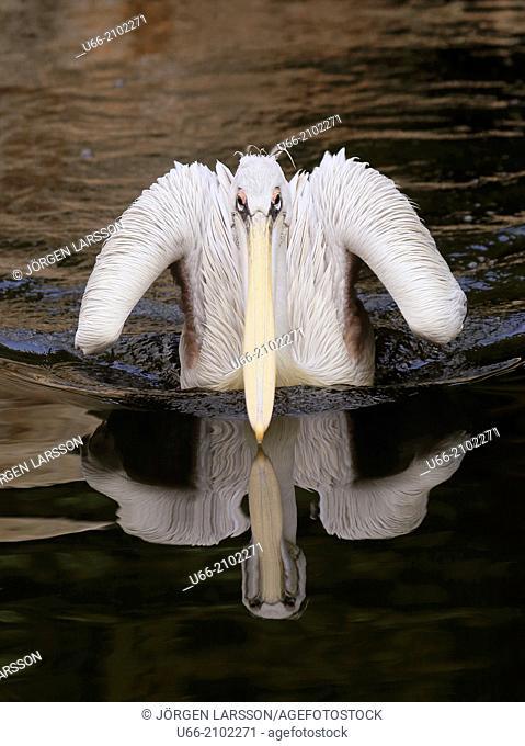 Pelican, Tenerife, Canary Islands, Spain