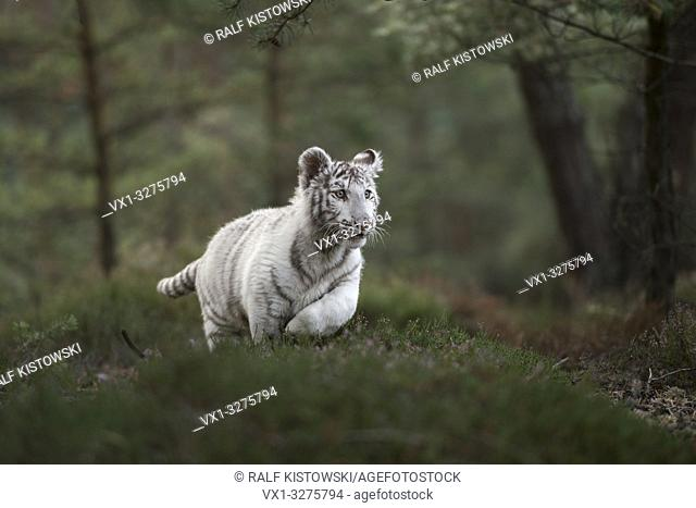 Royal Bengal Tiger ( Panthera tigris ), white morph, running fast, jumping through a natural forest, low point of view