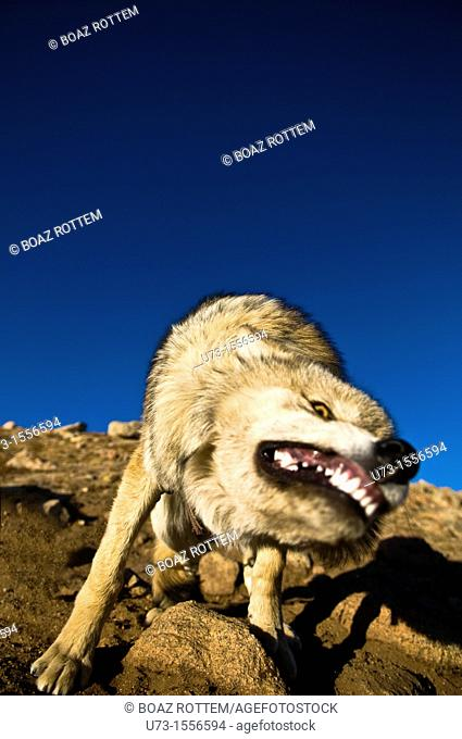 A wild wolf in the Altai region of western Mongolia