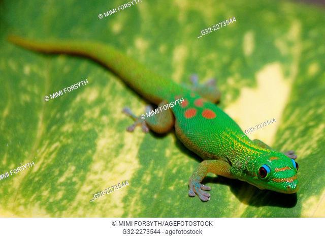Gold Dust Day Gecko (Phelsuma laticauda laticauda), Hawai'i, USA