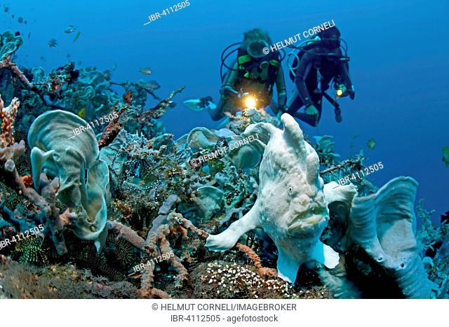 Divers and Commerson's Frogfish or Giant Frogfish (Antennarius commerson), Panglao, Bohol, Visayas, Indo-Pacific Ocean, Philippines