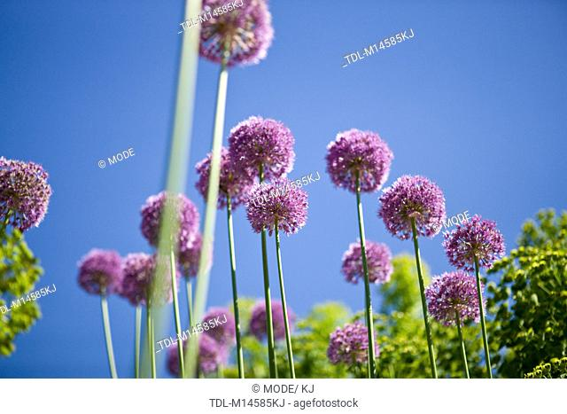 Purple allium flowers against blue sky