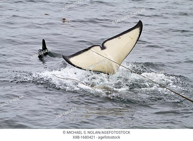 Adult killer whale Orcinus orca surfacing with kelp on its flukes in Chatham Strait, Southeast Alaska, Pacific Ocean