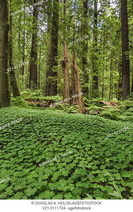 Redwood sorrel, Oxalis oregana, forms the foreground of a remnant of a giant redwood tree (Sequoia sempervirens) in Drury Channey Grove of the Avenue of the...