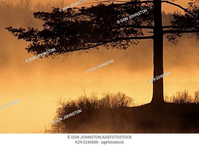 Pine tree silhouettes on lake shore with fog at sunrise, Greater Sudbury, Ontario, Canada