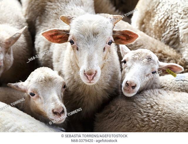 Three sheep, Escorca, Majorca, Spain