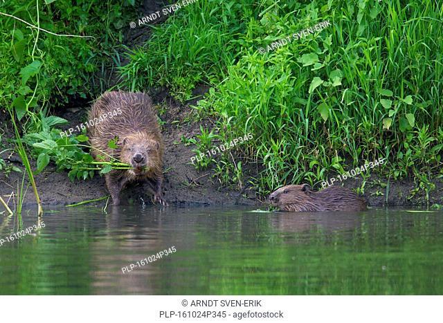 Eurasian beaver / European beaver (Castor fiber) with young on lake shore collecting vegetation for food cache