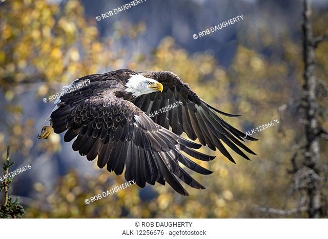 Bald Eagle in flight, Alaska, Autumn