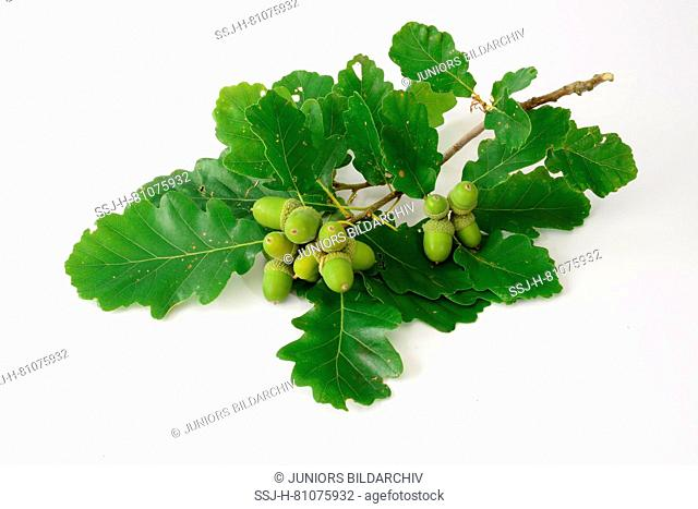 Durmast Oak, Sessile Oak (Quercus petraea), twig with leaves and acorns. Studio picture against a white background