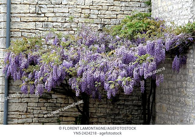 Blue Glycine in spring, wisteria