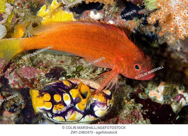 Lyretail Hawkfish (Cyprinocirrhites polyactis) by Ink-Spot Sea Squirt (Polycarpa aurata), Batu Kapal dive site, Lembeh Straits, Sulawesi, Indonesia