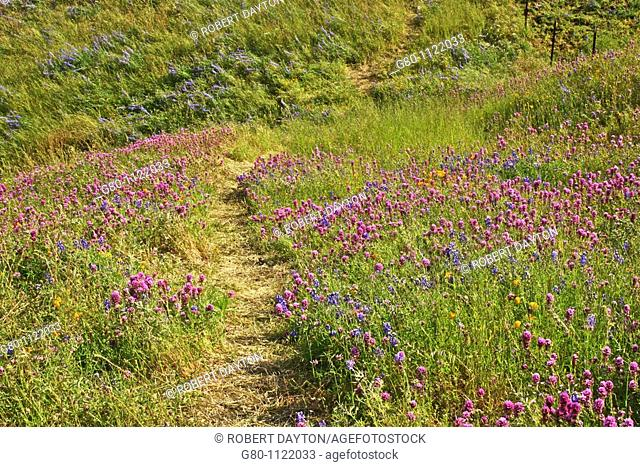 A path winds through a hillside of Owl's Clover, Poppies  and Lupine