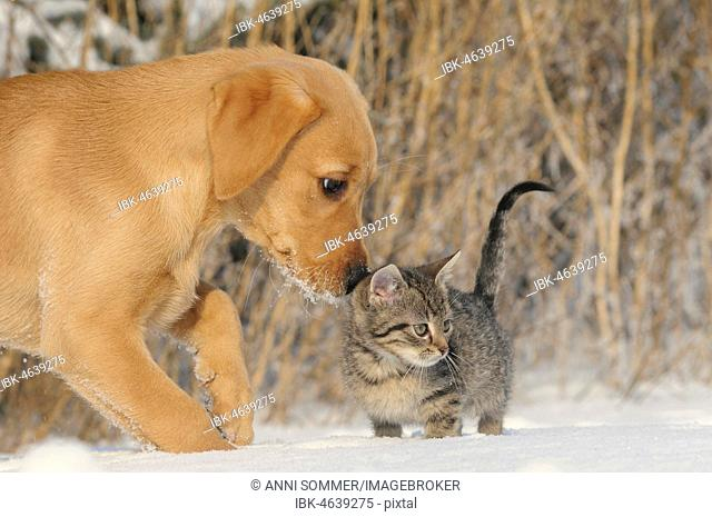 Labrador Retriever, yellow, puppy 9 weeks sniffing 8 weeks old tabby mackerel kitten