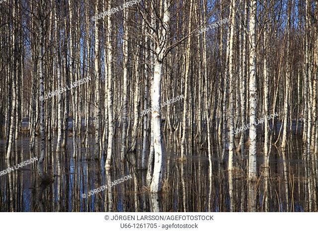 Birch in spring Katrineholm Sweden