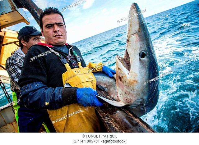 BLUE SHARK PUT BACK IN THE WATER STILL ALIVE TO PRESERVE THE SPECIES, SEA FISHING ON THE SHRIMP TRAWLER 'QUENTIN-GREGOIRE' OFF THE COAST OF SABLES-D'OLONNE (85)